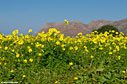 Bermuda buttercup and the hills of Akrotiri