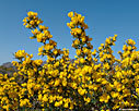 Spiny broom (Calicotome villosa)