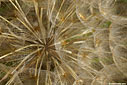 Detail of a Tragopogon sinuatus seed ball
