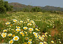 A field of crown daisies on Akrotiri