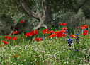 Poppies, lupins and olive tree