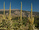 Verbascum macrurum on the road to Sougia