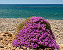 Flowering thyme by the seaside