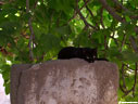 Black cat and fig tree