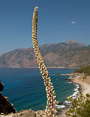 Sea squill near Agia Roumeli