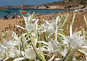 Sea daffodils on Kalathas beach, Akrotiri
