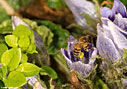 Bee in a mandragora flower