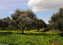 Olive grove in the spring with Oxalis pes-caprae flowers