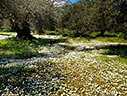 Olive grove in the spring