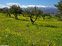 An olive grove in Aptera