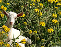 Young goat in a bush of Jerusalem sage