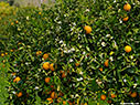 Blossoming orange tree