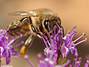 Bee collecting nectar in a thyme flower