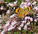 A butterfly on mountain flowers