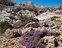 Flowering thyme in the mountains