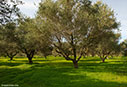 Winter olive grove