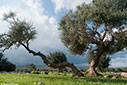 Olive tree in Agia Triada