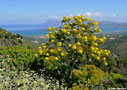 Giant fennel in Polyrinia
