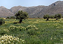 Crown daisies and olive trees, Akrotiri