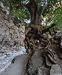 Plane tree in the gorge of Agia Irini