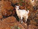 Young goat in a cliff