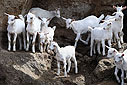 Young white goats