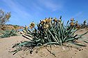 Dried sea daffodils on Chrissi Akti beach