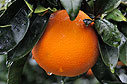 An orange after the rain