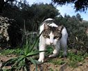 Cat in an olive grove