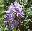 Orchid (orchis italica)