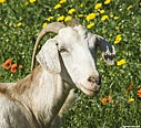 Goat in Polyrrinia