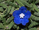 Anchusa cespitosa - a White Mountains endemic flower