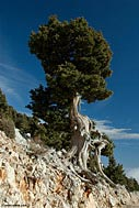 Cypress tree (cupressus sempervirens)