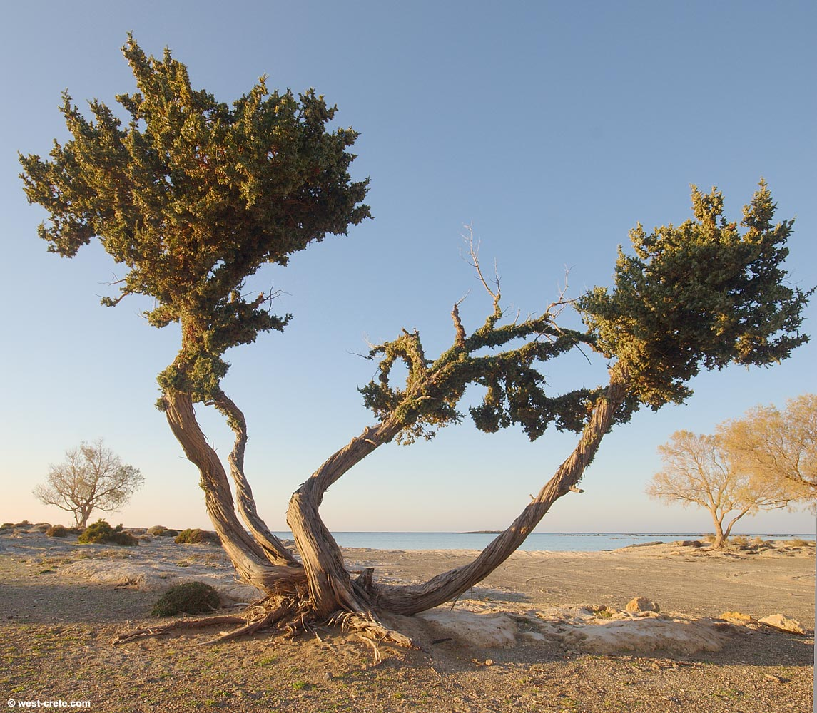 Juniper tree (Oxycedrus Macrocarpa) in Elafonisos