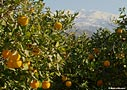 Orange trees in Crete