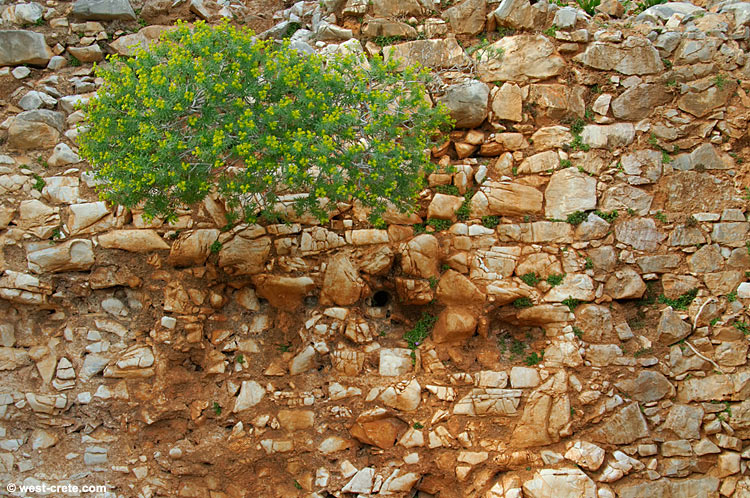Euphorbia bush in the wall of a Roman building at Diktynna, Rodopou peninsula - click to enlarge