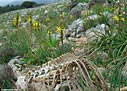 Nature morte - Sheep ribcage and Asphodeline lutea