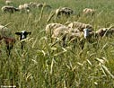 Sheep grazing in a wheat field