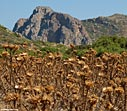 A field of dried thistles in Falasarna