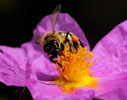 Bee on Cistus creticus