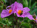 Bees on Cistus creticus