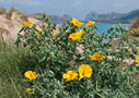 Yellow horned poppy in Falasarna