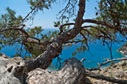 Pine tree above Agia Roumeli