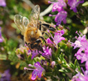 Bee in a thyme flower