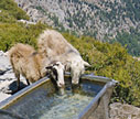 Sheep having a drink at the Linoseli spring