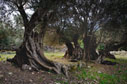 An old olive grove