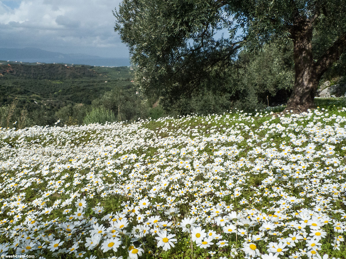 a field of daisies on the edge of an olive grove