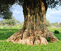 An old olive tree