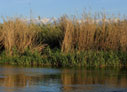 Reeds on the Platanias river