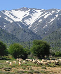 Sheep grazing on the plateau of Omalos